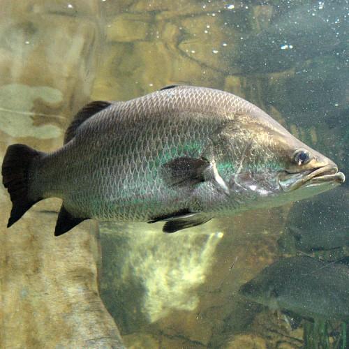 Barramundi fish in an aquarium