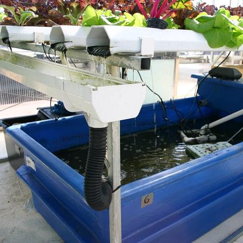 Aquaponics system with a catfish tank