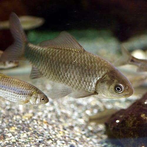 Carassius auratus langsdorfii swimming in a tank