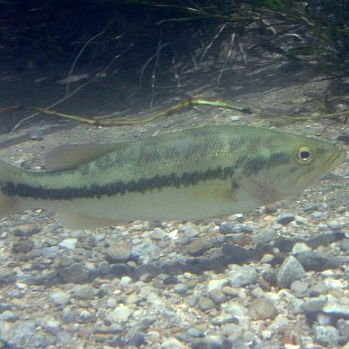 Largemouth bass swimming underwater