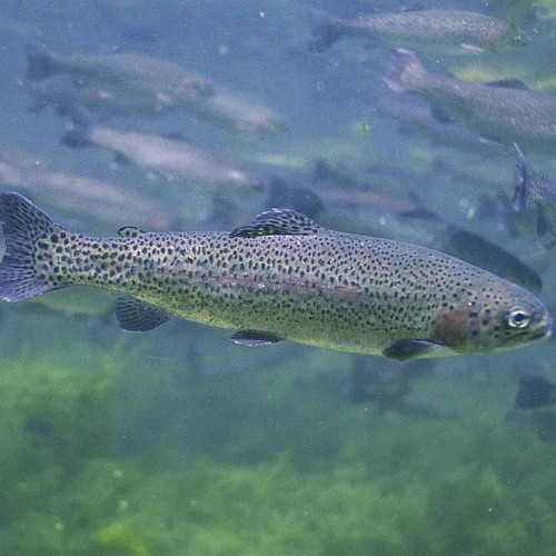 A group of rainbow trout underwater