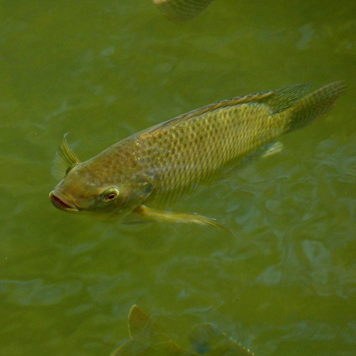 Tilapia swimming underwater