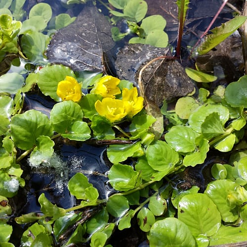 Creeping jenny plant in water