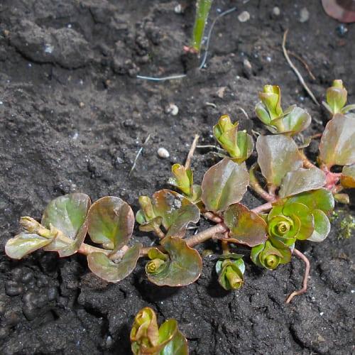 Creeping jenny plant in soil