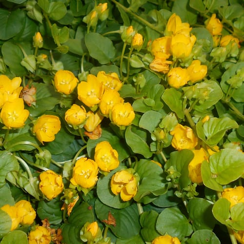 Creeping jenny in bloom with yellow flowers