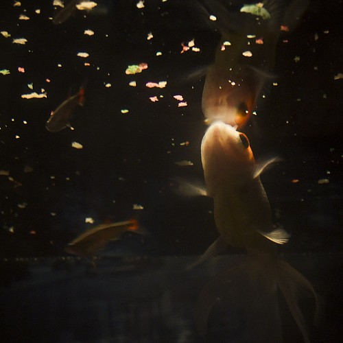 Goldfish eating fish food on the surface of the water