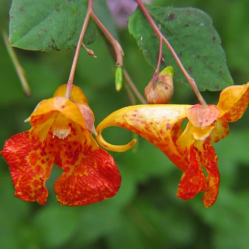 Jewelweed in bloom with orange speckled flowers