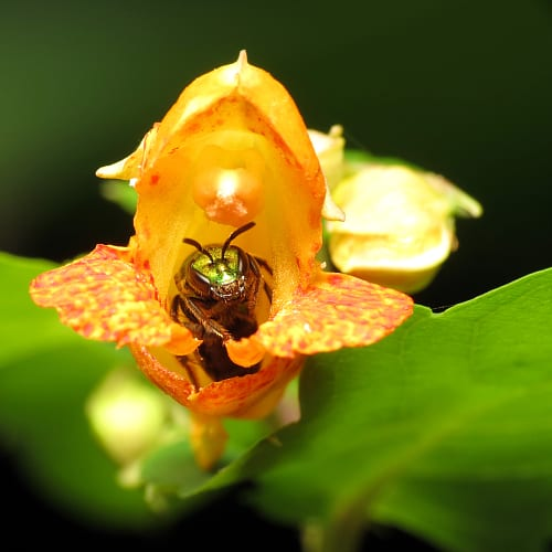 Sweat bee hiding inside a jewelweed flower