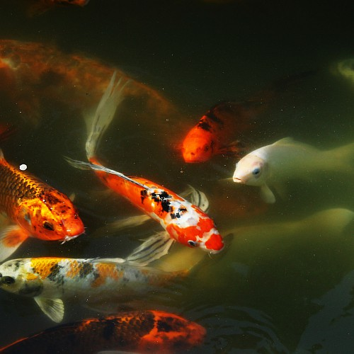 Group of koi fish in a pond