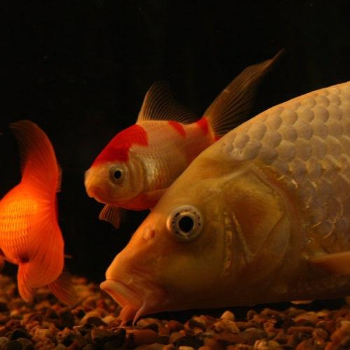 Goldfish and koi swimming underwater