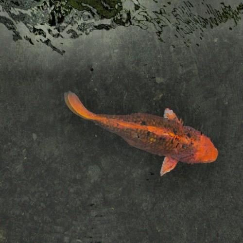 A pregnant female koi