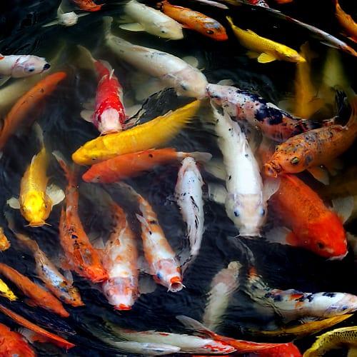 Group of koi fish swimming