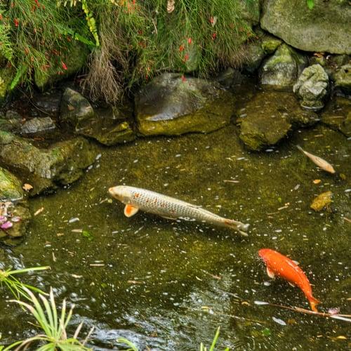 A fish pond