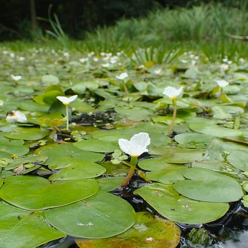 Frogbit plants in a lake