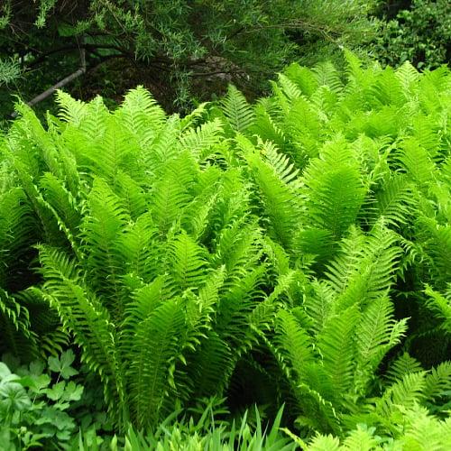Ostrich ferns in a botanical garden