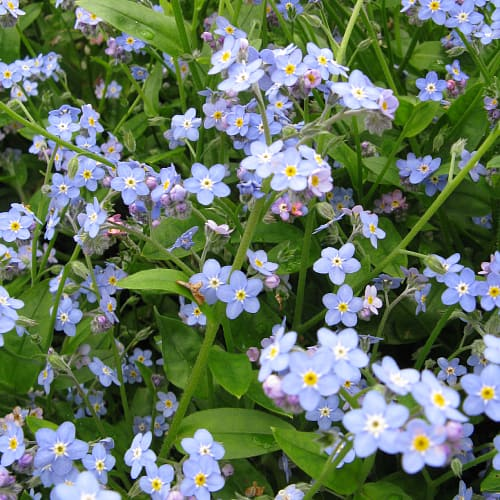 Water forget-me-not in bloom