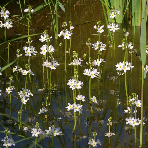 Water violet emerging out of the water