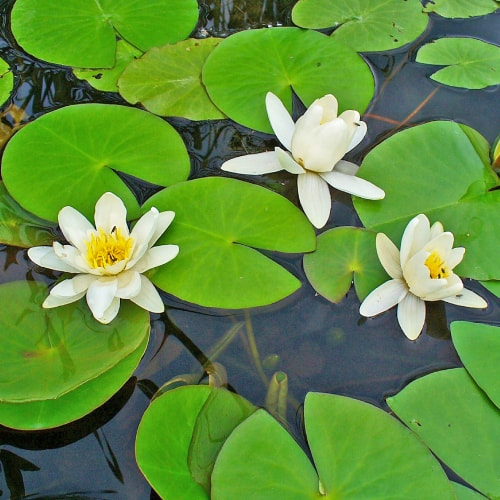 White water lily in bloom in a pond