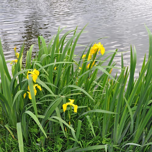 Yellow flag iris plants by a pond