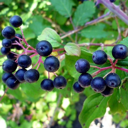 Common dogwood berries