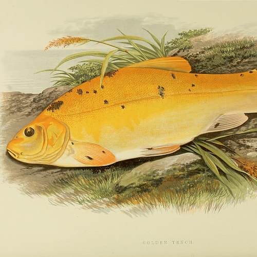 Illustration of a golden tench