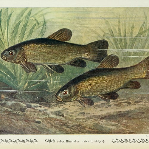 An illustration of tench fish