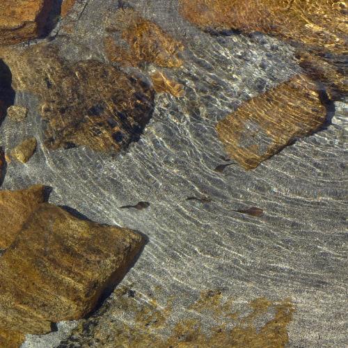 Tadpoles swimming past rocks