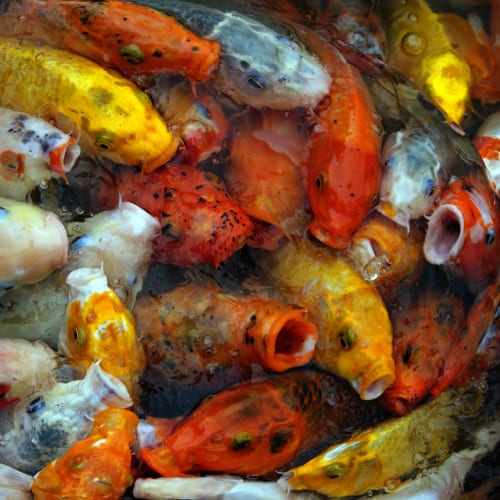 A group of koi competing for food