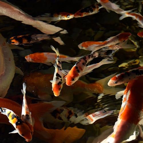Juvenile koi in an aquarium with mature koi