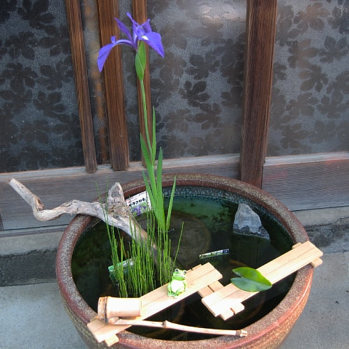 Water iris in a pot with its roots submerged in water