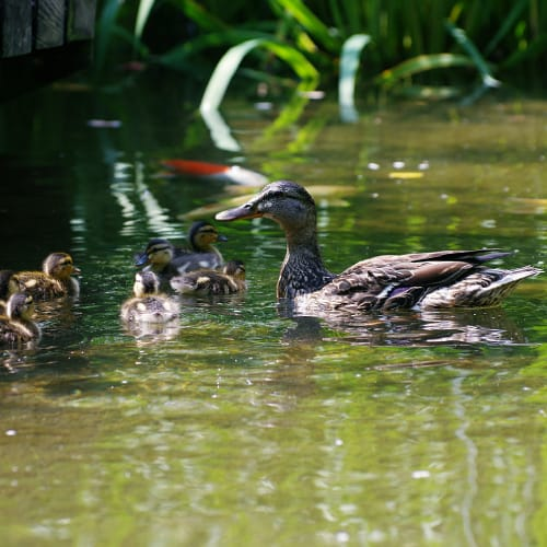 A duck with her ducklings in a pond