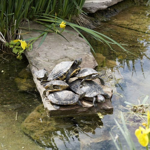 Turtles resting on a slab of stone in a pond