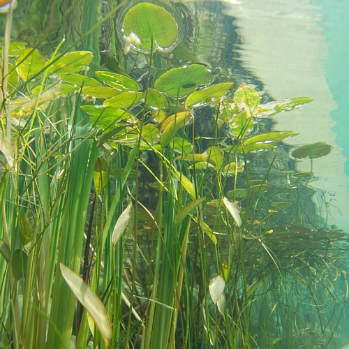 Submerged oxygenating pond plants