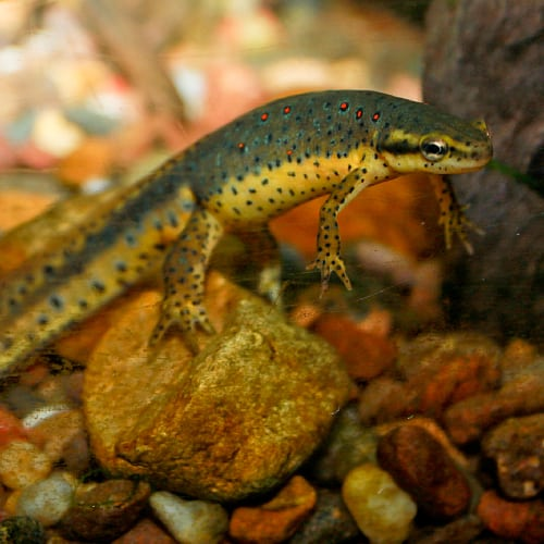 Red-spotted newt underwater