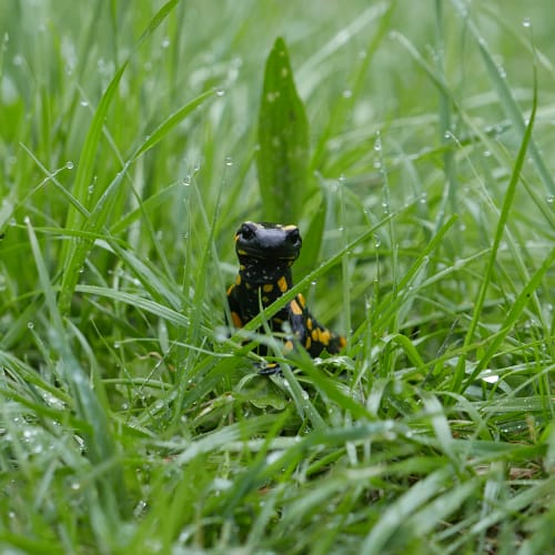 Spotted salamander in grass