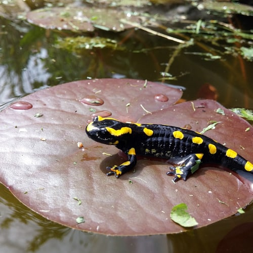 A spotted salamander resting on a water lily in a pond