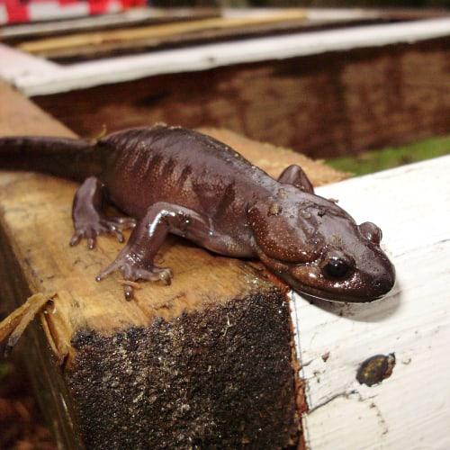 Adult northwestern salamander