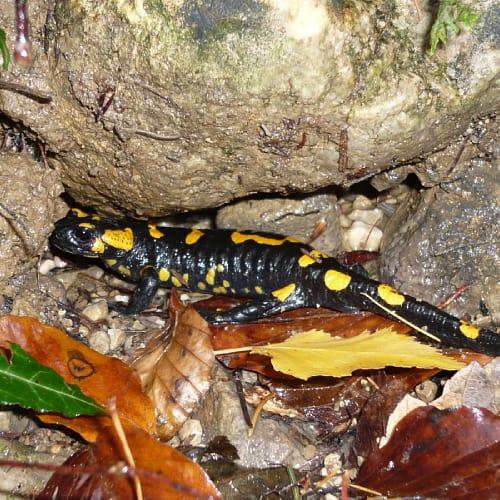 Spotted salamander resting in between rocks
