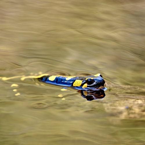 Salamander swimming in water