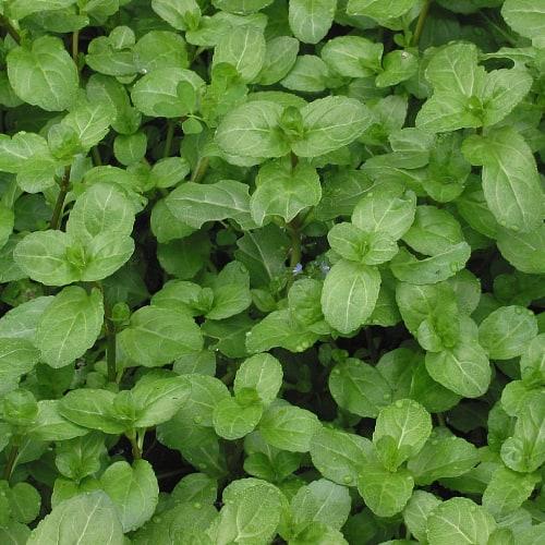 Brooklime plants
