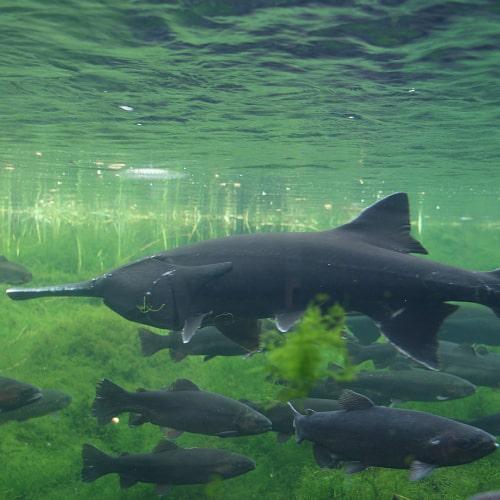 American paddlefish in an aquarium