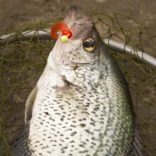 A black crappie in a fishing net with a jig going through its mouth