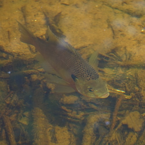 Bluegill swimming in shallow water