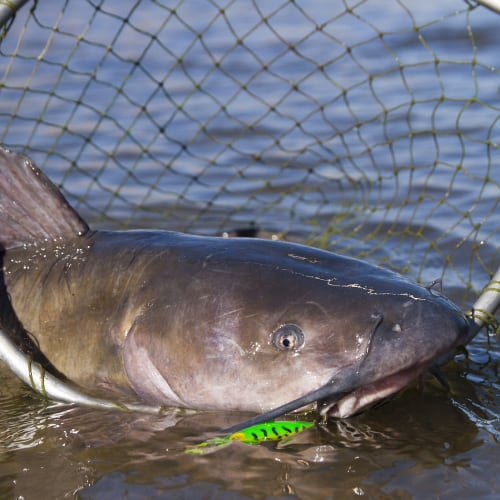Channel catfish caught in a fishing net