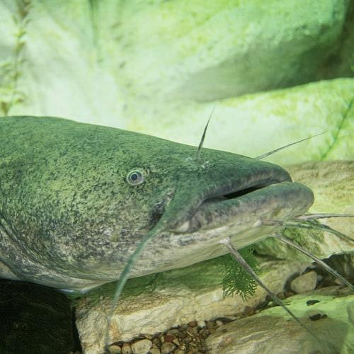 Flathead catfish swimming by rocks