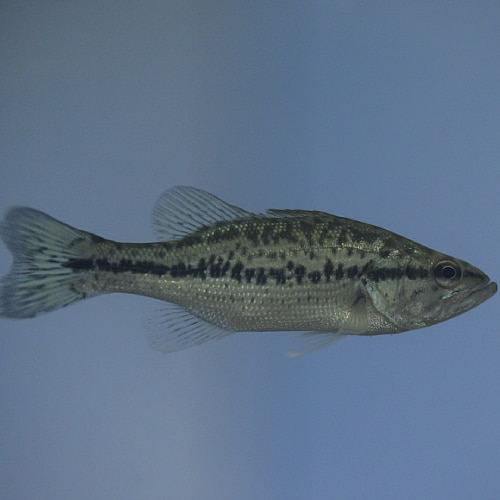A small largemouth bass
