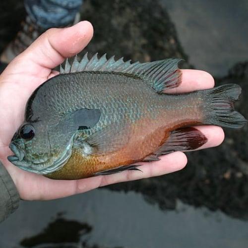 A longear sunfish in a person's hand