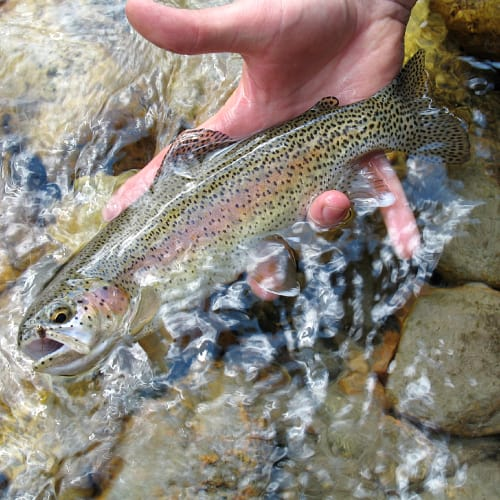 Adult rainbow trout in a person's hand