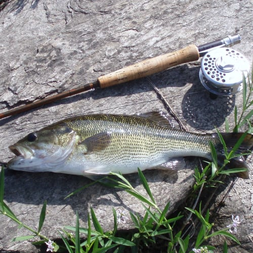 Spotted bass caught in Coosa River