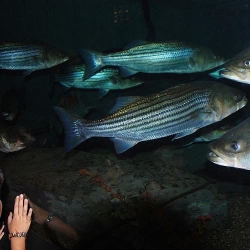 Large striped bass in an aquarium